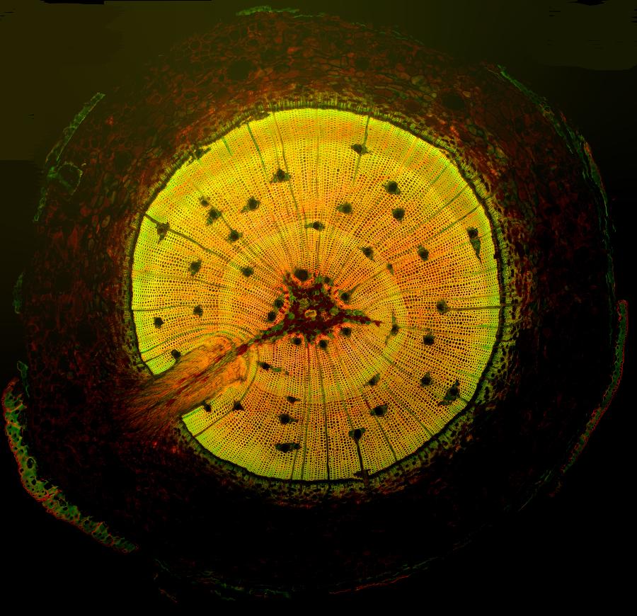 Pinus elliottii Ãœbersicht Fluoreszenz